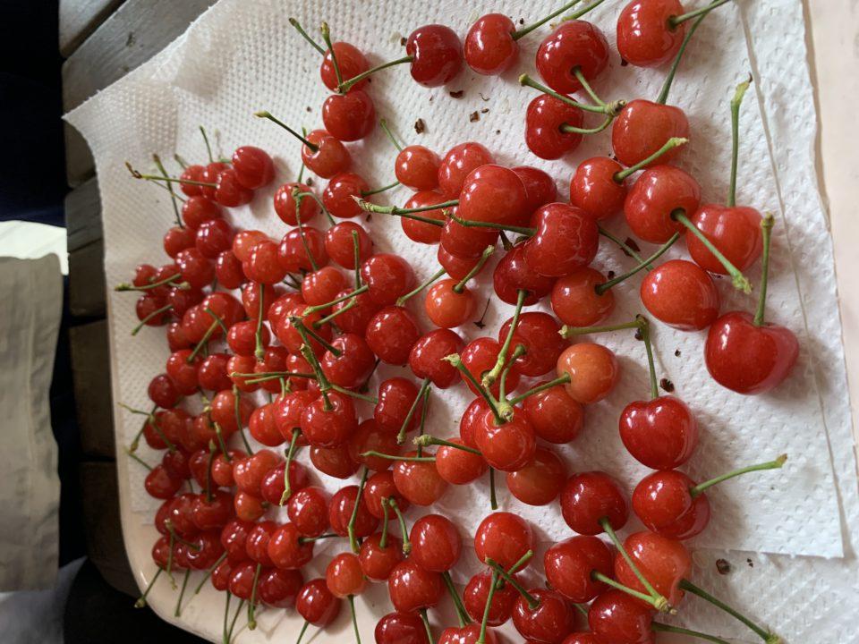 収穫された真っ赤なさくらんぼ