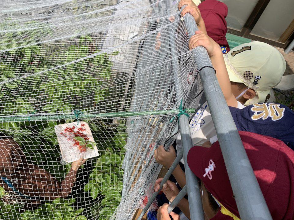 さくらんぼの収穫を見守っている園児